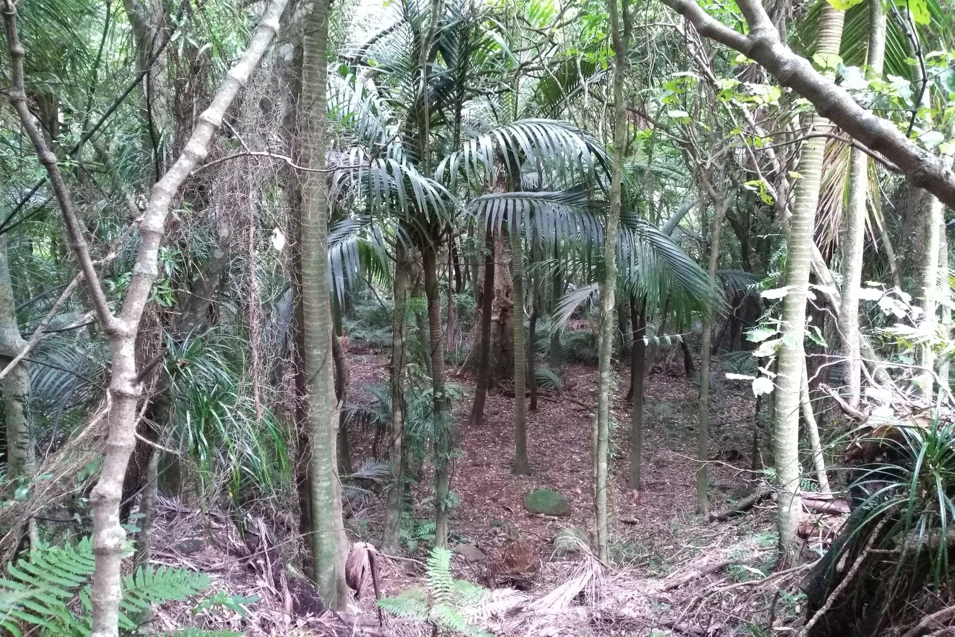 Tuahu-Kauri-bush