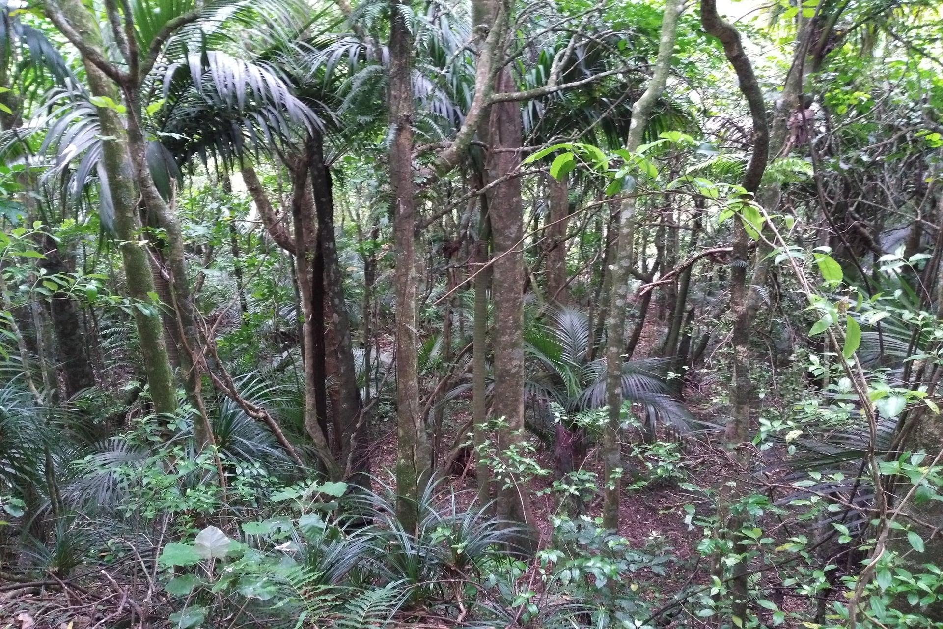 Tuahu-Kauri-forest