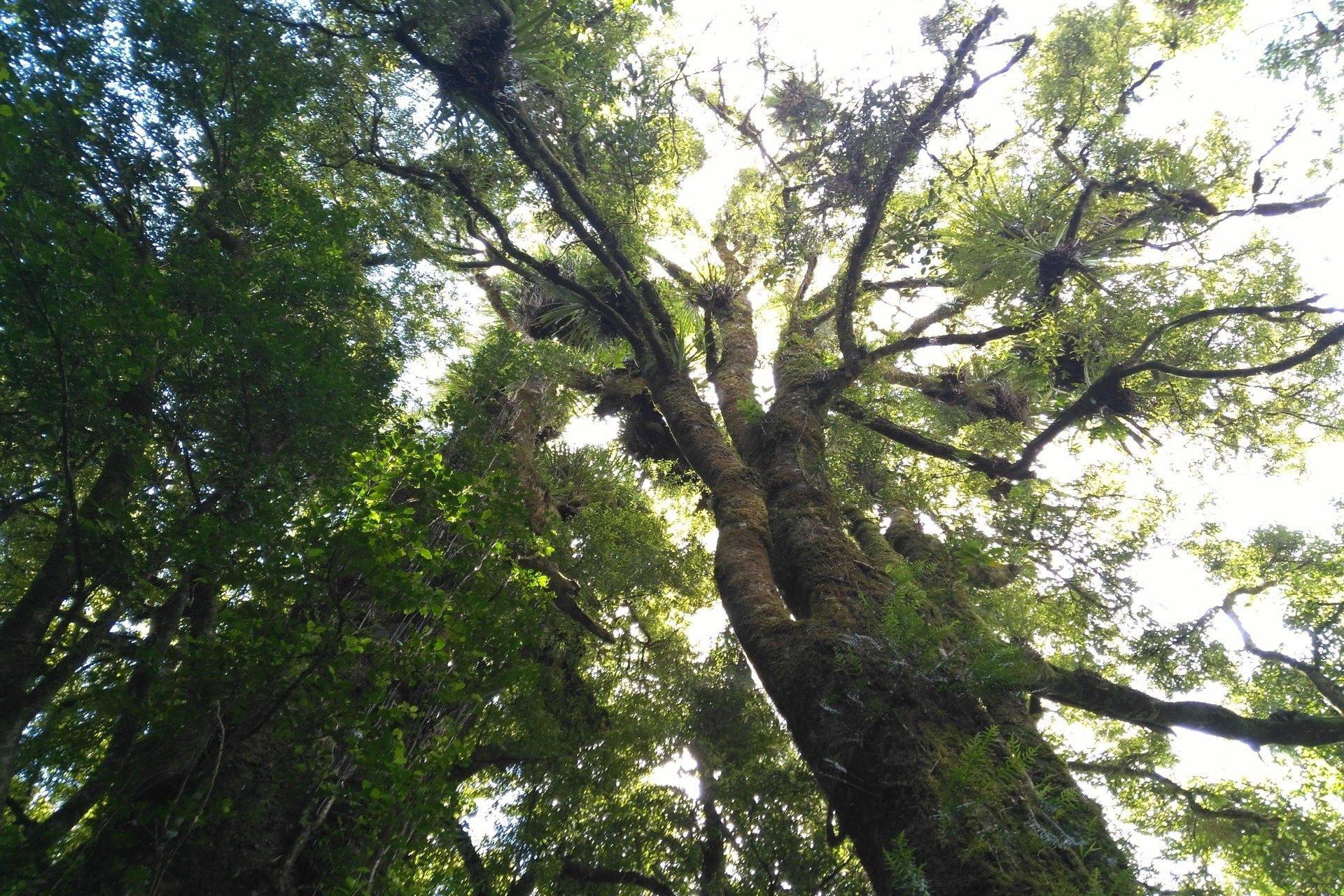 amazing-tree-otanewainuku