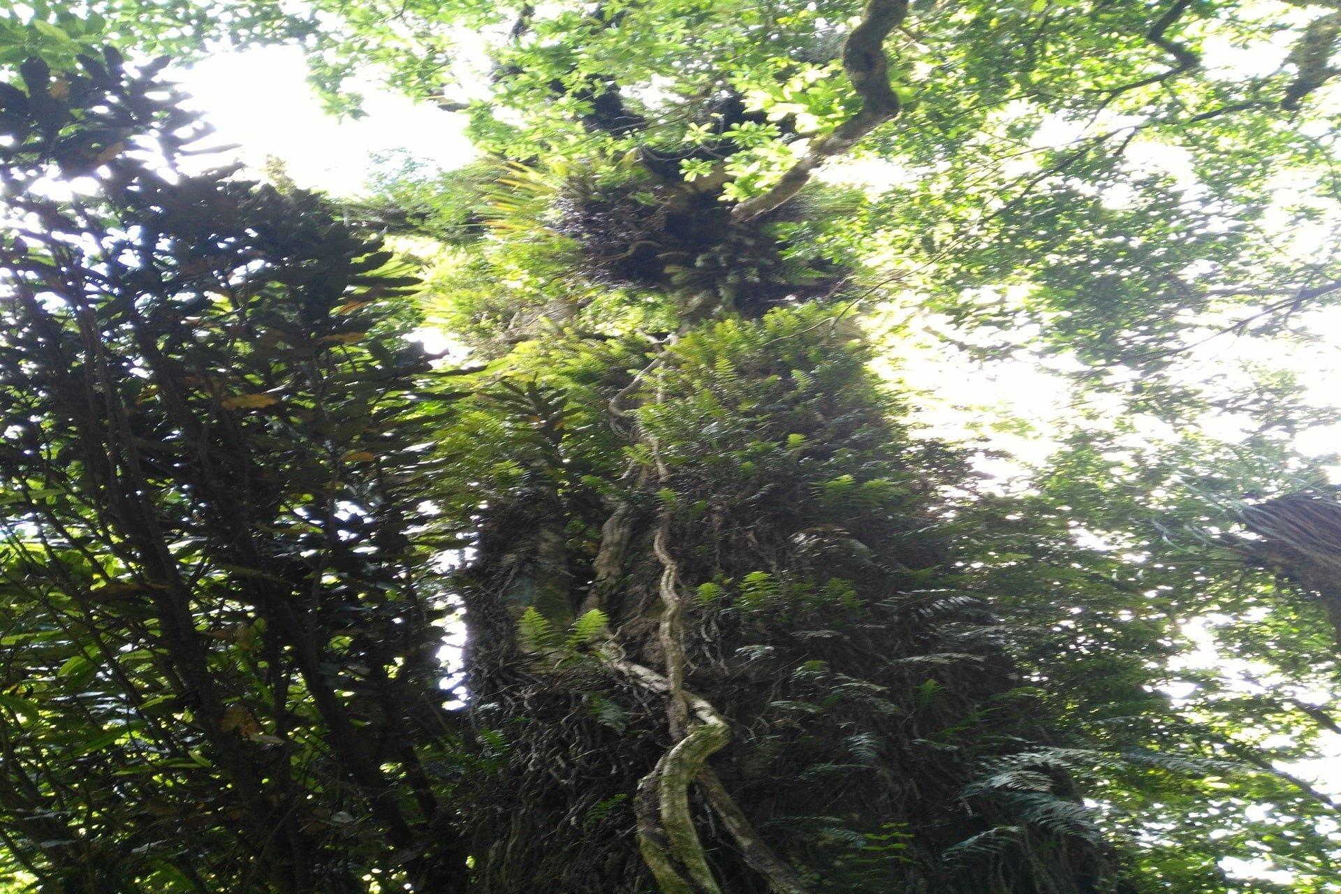 large-tree-otanewainuku