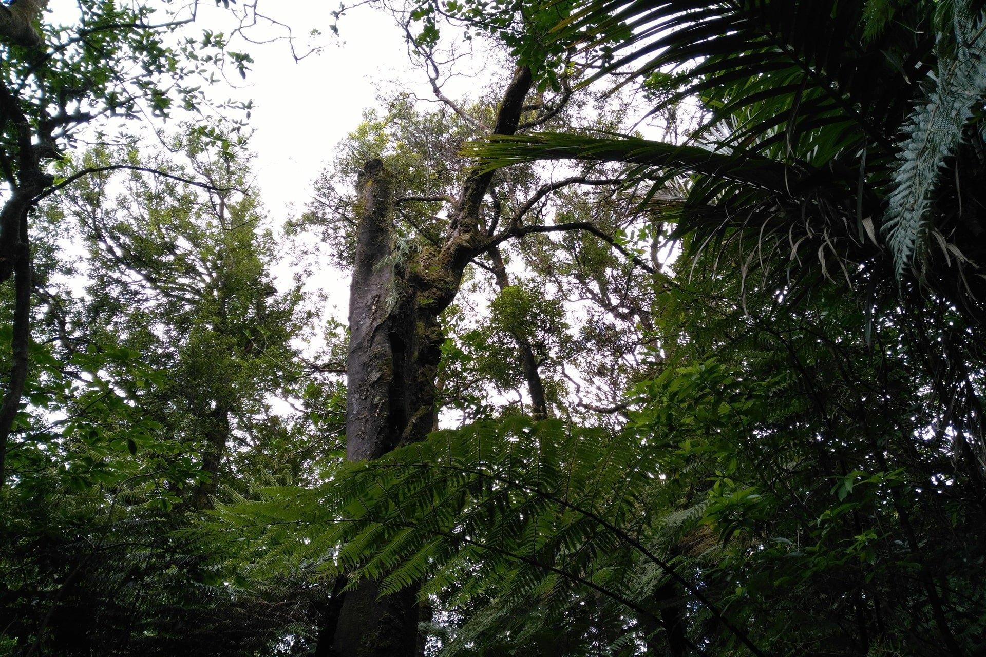 old-trees-Tuahu-Kauri