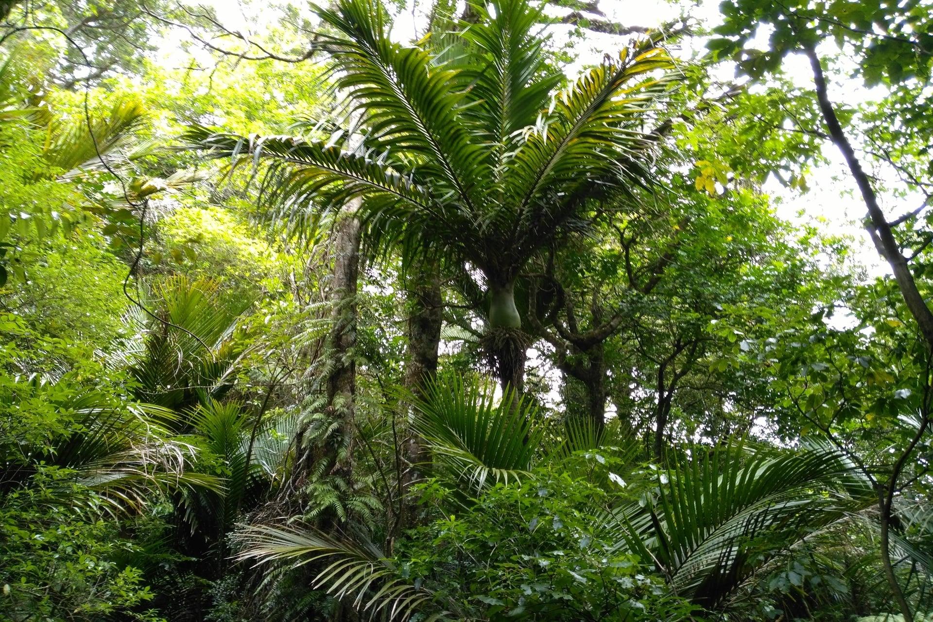 palm-tree-Tuahu-Kauri-